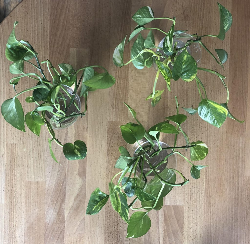 Cuttings from Baxter the pothos plant.
